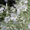 Мир цветов таинственный и нежный