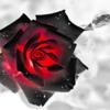 Пепел розы