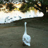 Возвращение блудного лебедя