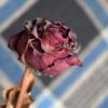 Сухая роза.