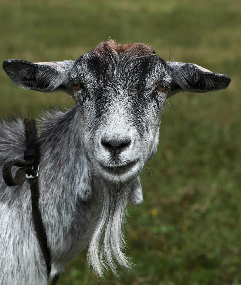 новое коза с челкой фото фото
