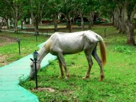 Лошадка с Кубы