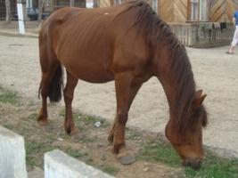 Ивдельская лошадь