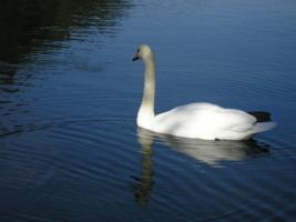 Белый лебедь любви