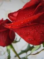 Розы ,они прекрасны