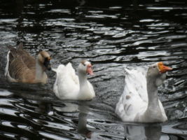о белые гуси...они прекрасны!