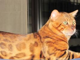 Кот-леопард.