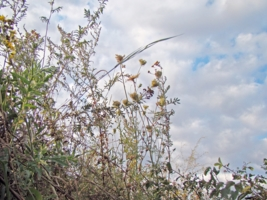 придорожные травы