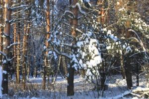 Заколдованный лес.