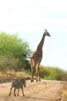 Жираф большооооой, ему видней!