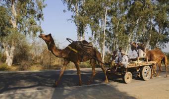 Про верблюда