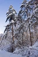 Лес заколдованный