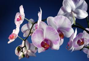 Загадочная орхидея