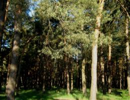 сосновый бор и солнце