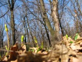 Весенний дубовый лес