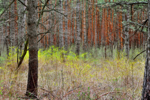 Утро в сосновом лесу...