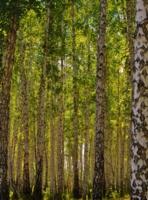 там, где лес шумит