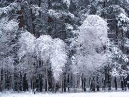 Зиний лес
