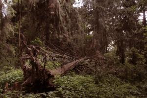 Во лесу дремучем...