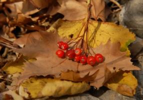 ягоды на листке