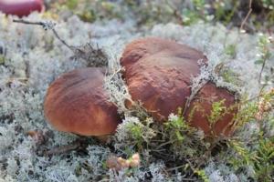 В лесу родился белый гриб