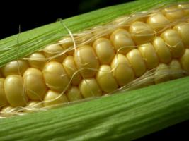 Люблю кукурузу!