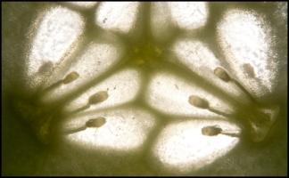 Эмбрионы Огурца