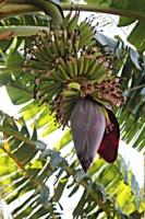 Цветок банановый