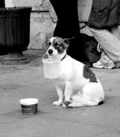 собака-попрошайка