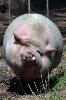 Да при таких свиньях ...