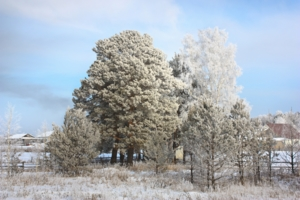 Посеребрил мороз деревья