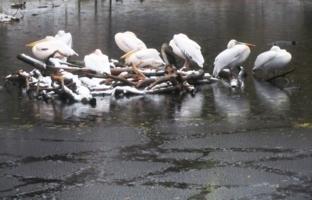 Семейство пеликанов.
