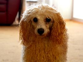 Электрический пес