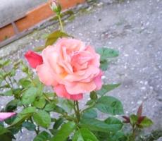 роза-счастье для женщины