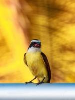 Краснокрылая питанга-крошка