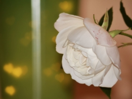 первая весенняя роза