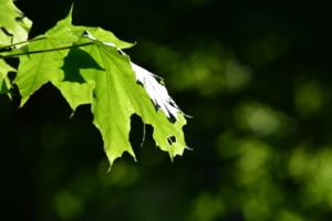 клён зелёный, лист резной..