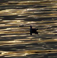 в золотой воде