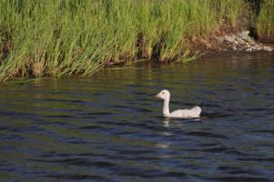 Лебеденок