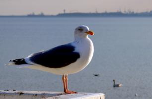 Балтийская чайка