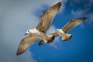 Черноморские чайки
