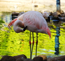 Загадка.Сколько фламинго?