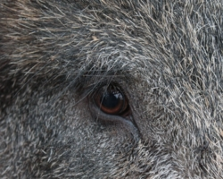 кабан - близорукое животное
