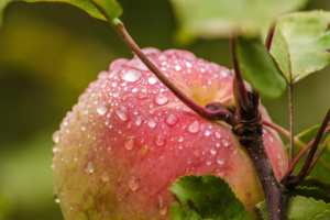 Осенний плод
