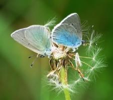 Бабочкодуванчик