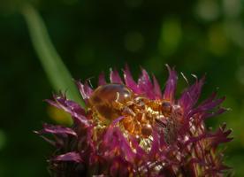 Капелька нектара