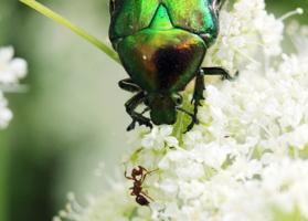 Назойливый муравьишко