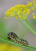 гусеница махаона