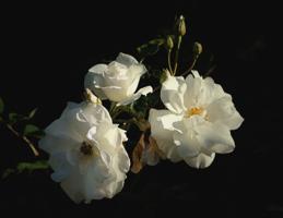 Белое трио