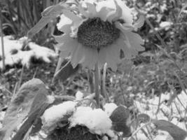 Подсолнух в первый день зимы